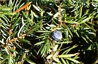 Juniper Berry wild